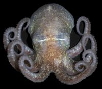 070225_antarctic_octopus_02