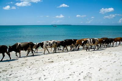 Cows_4